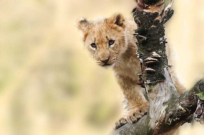 No solo es el rey de la selva, el León se corona como rey de las taquillas.IUSH